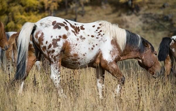 Масти-лошадей-Описание-особенности-и-названия-мастей-лошадей-26