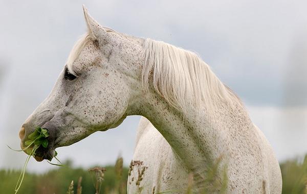 Масти-лошадей-Описание-особенности-и-названия-мастей-лошадей-33