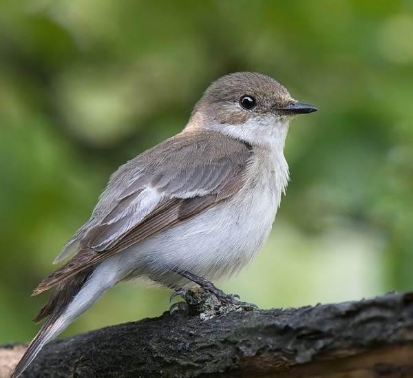 Мухоловка-птица-Описание-особенности-образ-жизни-и-среда-обитания-мухоловки-1