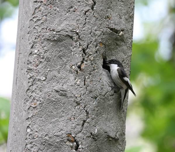 Мухоловка-птица-Описание-особенности-образ-жизни-и-среда-обитания-мухоловки-10