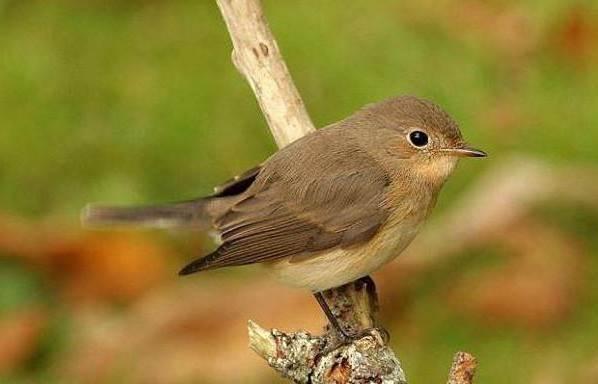 Мухоловка-птица-Описание-особенности-образ-жизни-и-среда-обитания-мухоловки-2