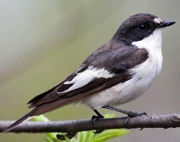 Мухоловка-птица-Описание-особенности-образ-жизни-и-среда-обитания-мухоловки-3