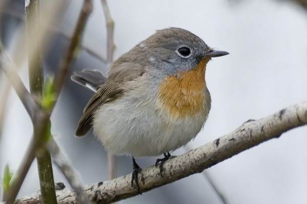 Мухоловка-птица-Описание-особенности-образ-жизни-и-среда-обитания-мухоловки-4