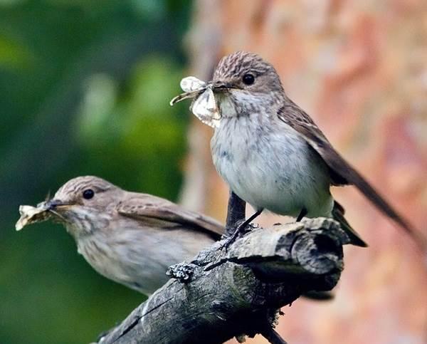 Мухоловка-птица-Описание-особенности-образ-жизни-и-среда-обитания-мухоловки-5