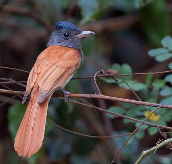 Мухоловка-птица-Описание-особенности-образ-жизни-и-среда-обитания-мухоловки-6