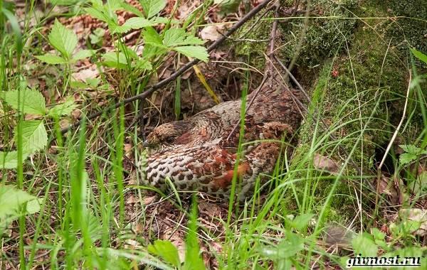 Рябчик-птица-Среда-обитания-и-особенности-рябчика-14
