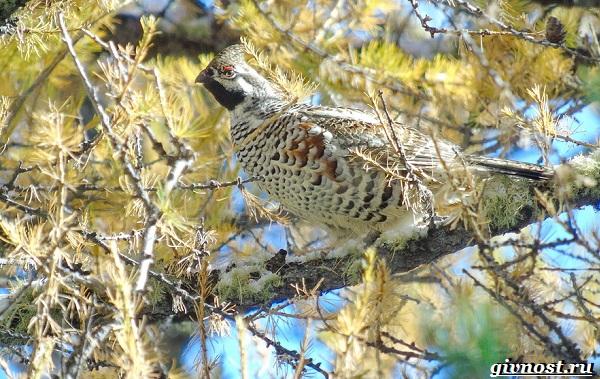 Рябчик-птица-Среда-обитания-и-особенности-рябчика-17