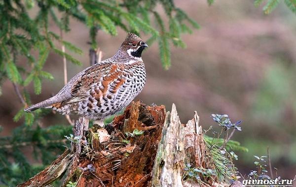 Рябчик-птица-Среда-обитания-и-особенности-рябчика-19