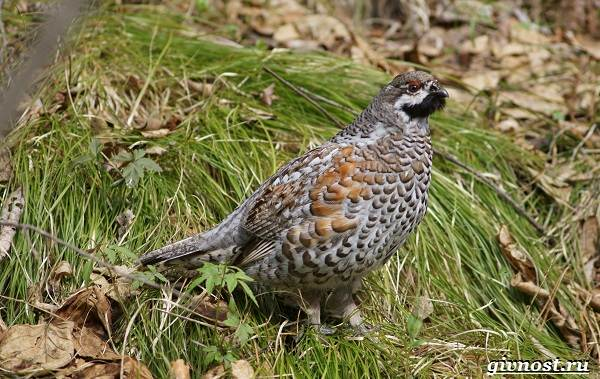 Рябчик-птица-Среда-обитания-и-особенности-рябчика-4
