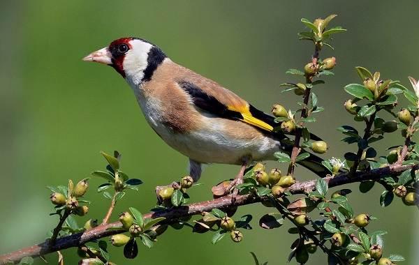 Щегол-птица-Описание-особенности-образ-жизни-и-среда-обитания-щегла-1
