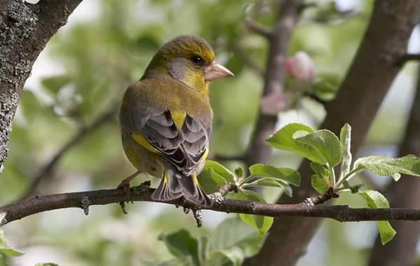 Щегол-птица-Описание-особенности-образ-жизни-и-среда-обитания-щегла-10