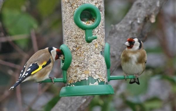 Щегол-птица-Описание-особенности-образ-жизни-и-среда-обитания-щегла-12
