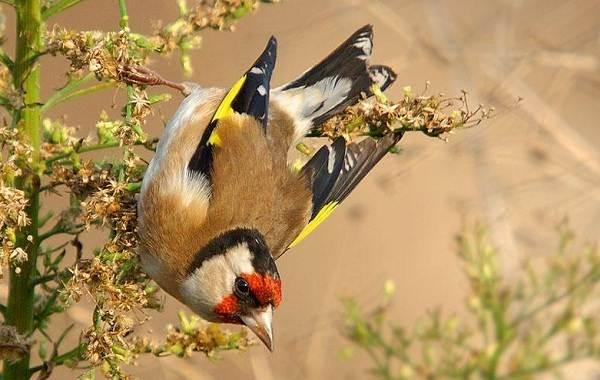 Щегол-птица-Описание-особенности-образ-жизни-и-среда-обитания-щегла-13