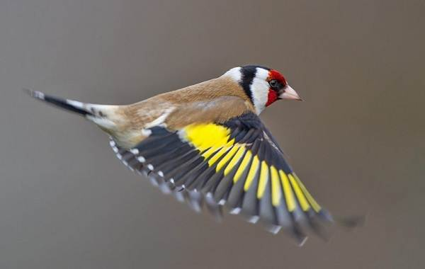 Щегол-птица-Описание-особенности-образ-жизни-и-среда-обитания-щегла-14