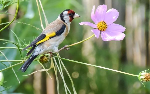 Щегол-птица-Описание-особенности-образ-жизни-и-среда-обитания-щегла-17