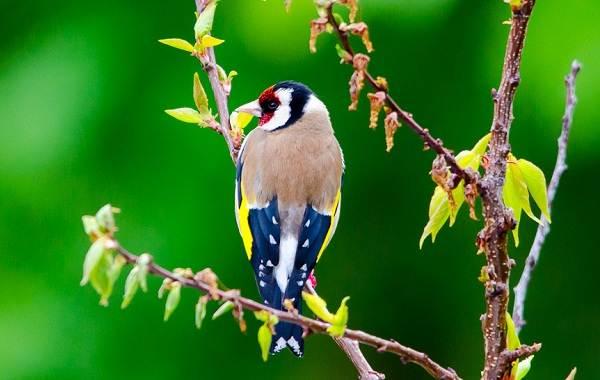 Щегол-птица-Описание-особенности-образ-жизни-и-среда-обитания-щегла-4