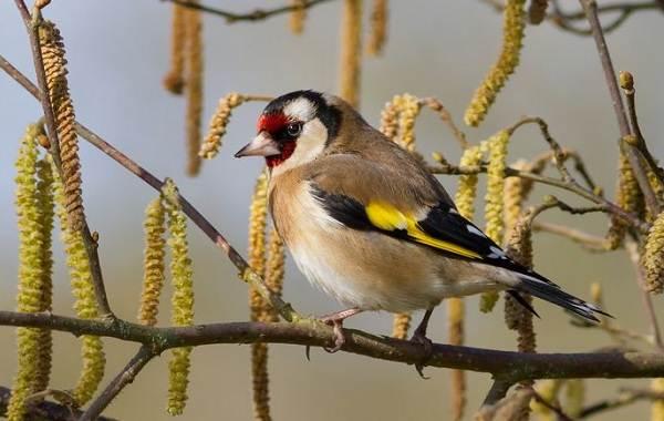 Щегол-птица-Описание-особенности-образ-жизни-и-среда-обитания-щегла-6