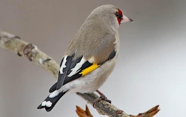 Щегол-птица-Описание-особенности-образ-жизни-и-среда-обитания-щегла-7