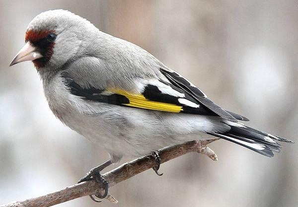 Щегол-птица-Описание-особенности-образ-жизни-и-среда-обитания-щегла-8