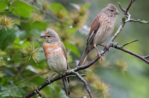 Щегол-птица-Описание-особенности-образ-жизни-и-среда-обитания-щегла-9