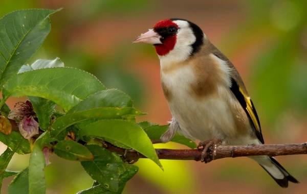 Щегол-птица-Описание-особенности-образ-жизни-и-среда-обитания-щегла