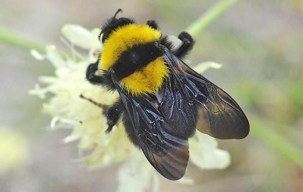 Шмель-насекомое-Описание-особенности-образ-жизни-и-среда-обитания-шмеля-1