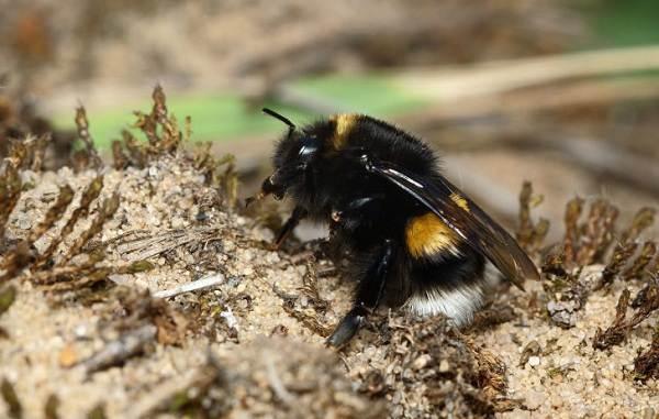 Шмель-насекомое-Описание-особенности-образ-жизни-и-среда-обитания-шмеля-10