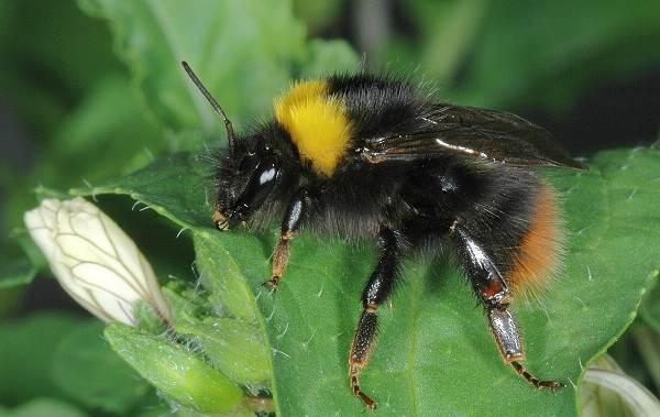 Шмель-насекомое-Описание-особенности-образ-жизни-и-среда-обитания-шмеля-15