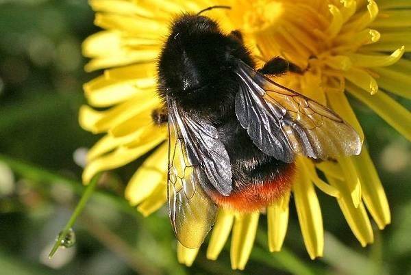 Шмель-насекомое-Описание-особенности-образ-жизни-и-среда-обитания-шмеля-16