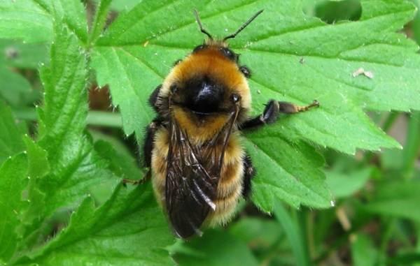 Шмель-насекомое-Описание-особенности-образ-жизни-и-среда-обитания-шмеля-17