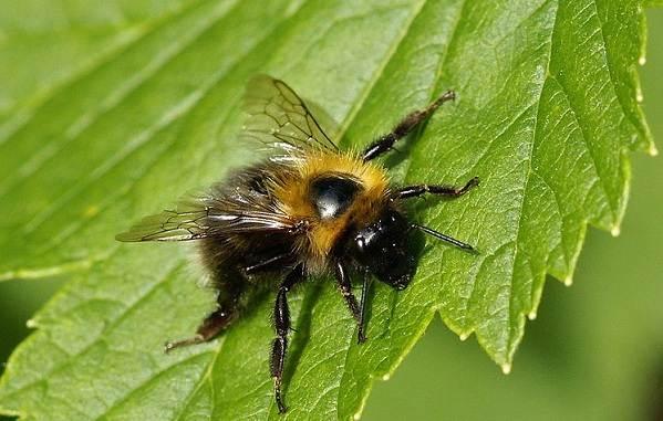 Шмель-насекомое-Описание-особенности-образ-жизни-и-среда-обитания-шмеля-18