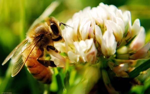 Шмель-насекомое-Описание-особенности-образ-жизни-и-среда-обитания-шмеля-19