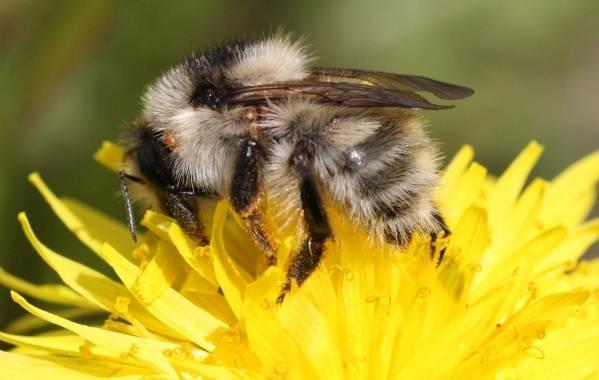 Шмель-насекомое-Описание-особенности-образ-жизни-и-среда-обитания-шмеля-20