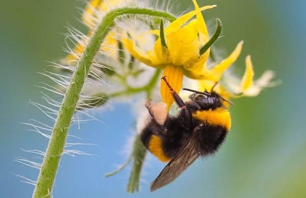Шмель-насекомое-Описание-особенности-образ-жизни-и-среда-обитания-шмеля-22