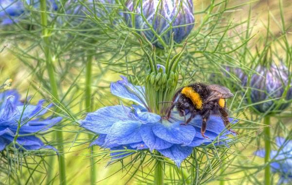 Шмель-насекомое-Описание-особенности-образ-жизни-и-среда-обитания-шмеля-25