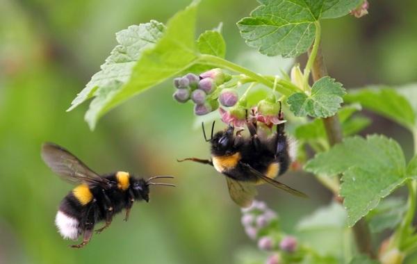 Шмель-насекомое-Описание-особенности-образ-жизни-и-среда-обитания-шмеля-26
