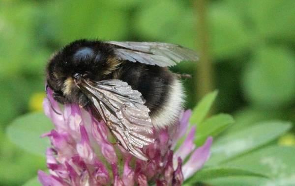 Шмель-насекомое-Описание-особенности-образ-жизни-и-среда-обитания-шмеля-4
