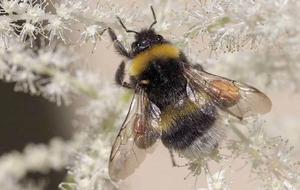 Шмель-насекомое-Описание-особенности-образ-жизни-и-среда-обитания-шмеля-5