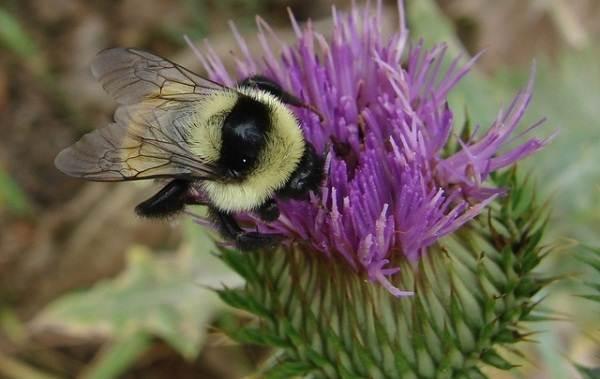 Шмель-насекомое-Описание-особенности-образ-жизни-и-среда-обитания-шмеля-6