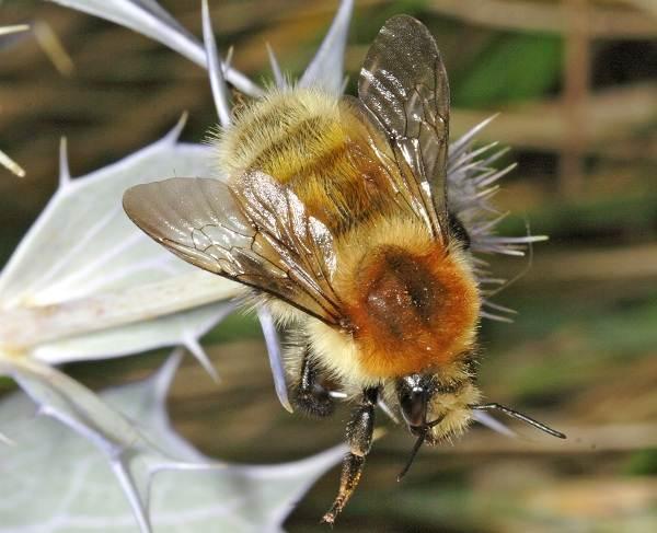 Шмель-насекомое-Описание-особенности-образ-жизни-и-среда-обитания-шмеля-7