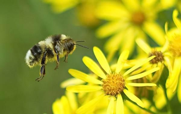 Шмель-насекомое-Описание-особенности-образ-жизни-и-среда-обитания-шмеля-8