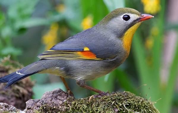 Соловей-птица-Образ-жизни-и-среда-обитания-соловья-10