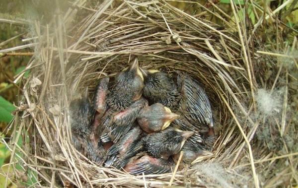 Соловей-птица-Образ-жизни-и-среда-обитания-соловья-12