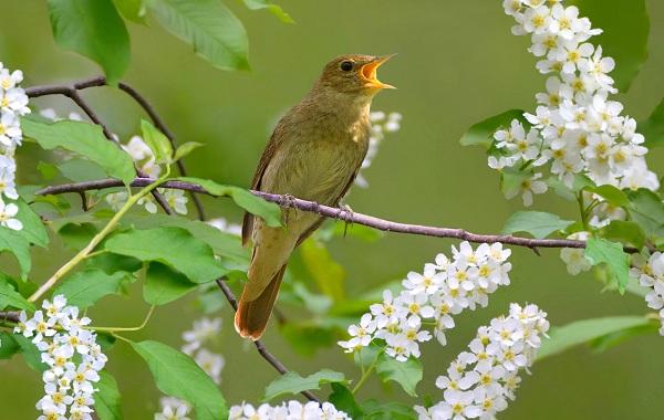 Соловей-птица-Образ-жизни-и-среда-обитания-соловья-13
