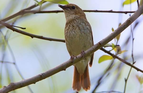 Соловей-птица-Образ-жизни-и-среда-обитания-соловья-6