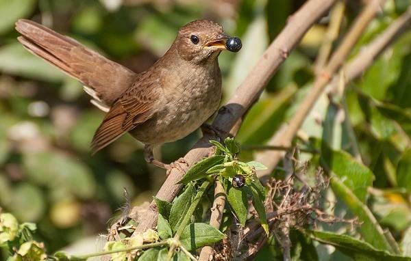 Соловей-птица-Образ-жизни-и-среда-обитания-соловья-7