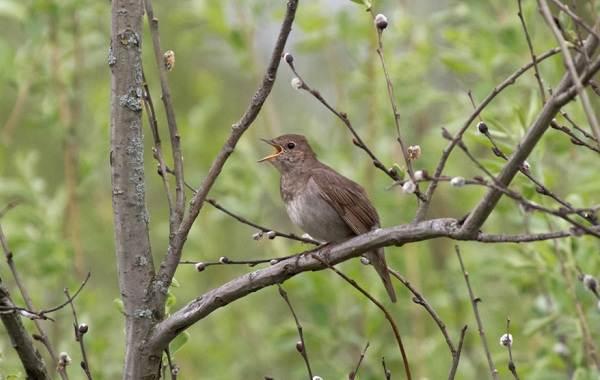Соловей-птица-Образ-жизни-и-среда-обитания-соловья-9