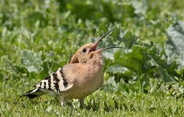 Удод-птица-Описание-и-особенности-удода-12