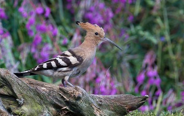 Удод-птица-Описание-и-особенности-удода-13
