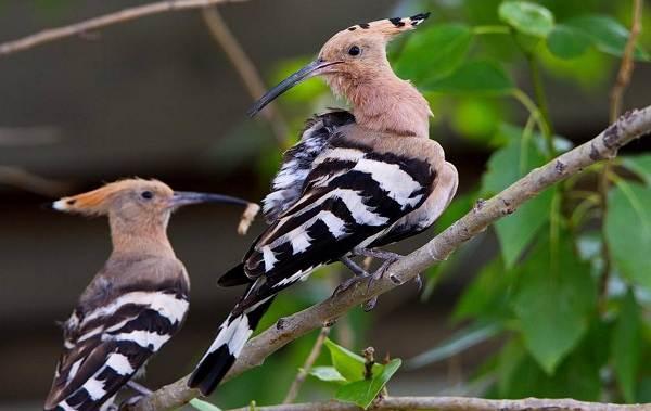 Удод-птица-Описание-и-особенности-удода-14